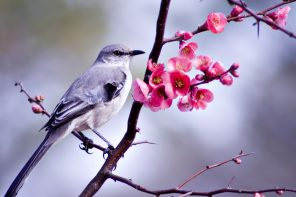 Mockingbird sitting in a bush