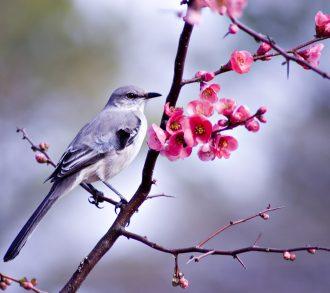 Mockingbird sitting in a bush